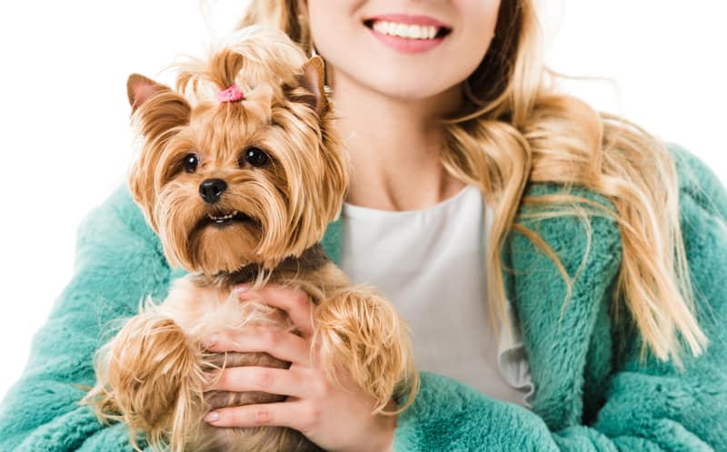Closeup of a Yorkshire Terrier being held by a young woman