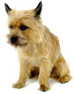 A Cairn Terrier dog sitting