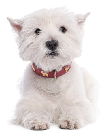 West Highland White Terrier: Is Your Bestie a Westie