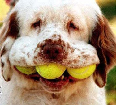 Dog with three tennis balls in his mouth