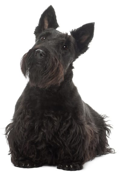 Scottish Terrier Monopolizing Attention With Its Iconic