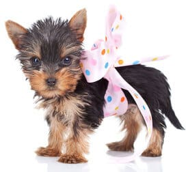Cuteness Kills The Case Against Teacup Dogs Terribly Terrier