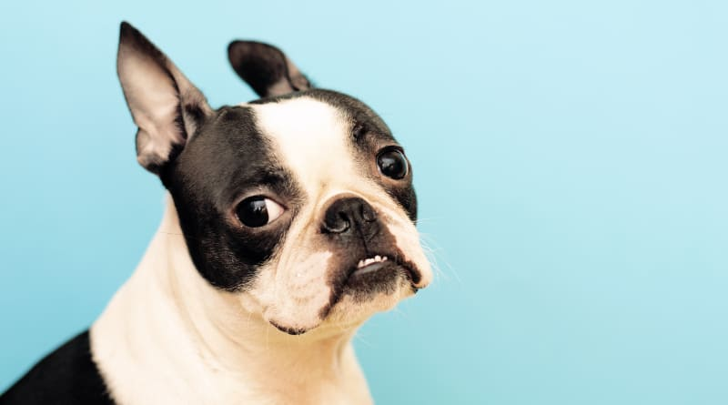 Studio photo of a handsome Boston Terrier