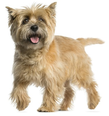 Picture of a Cairn Terrier dog isolated on white background