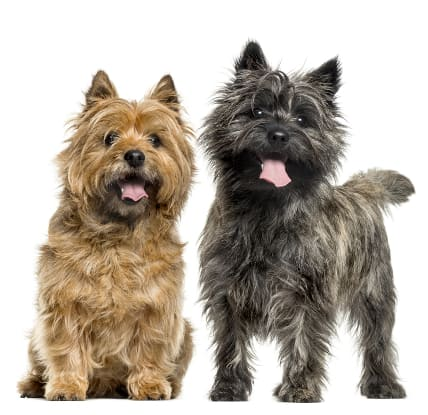 Red/wheaten Cairn Terrier sitting next to brindle Cairn Terrier